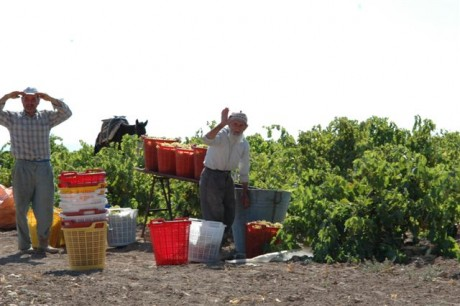 Vehbi Bey Şarapları Bağ Bozumu